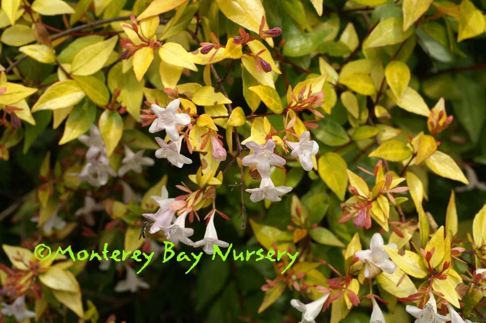 Monterey Bay Nursery Plants A