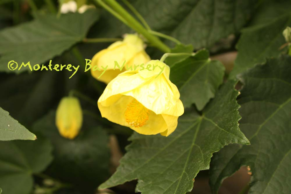 Monterey bay nursery plants a very profuse perky medium yellow flowers and fine textured medium green leaves with moderately felty undersides inhibits aphids and whiteflies mightylinksfo Choice Image