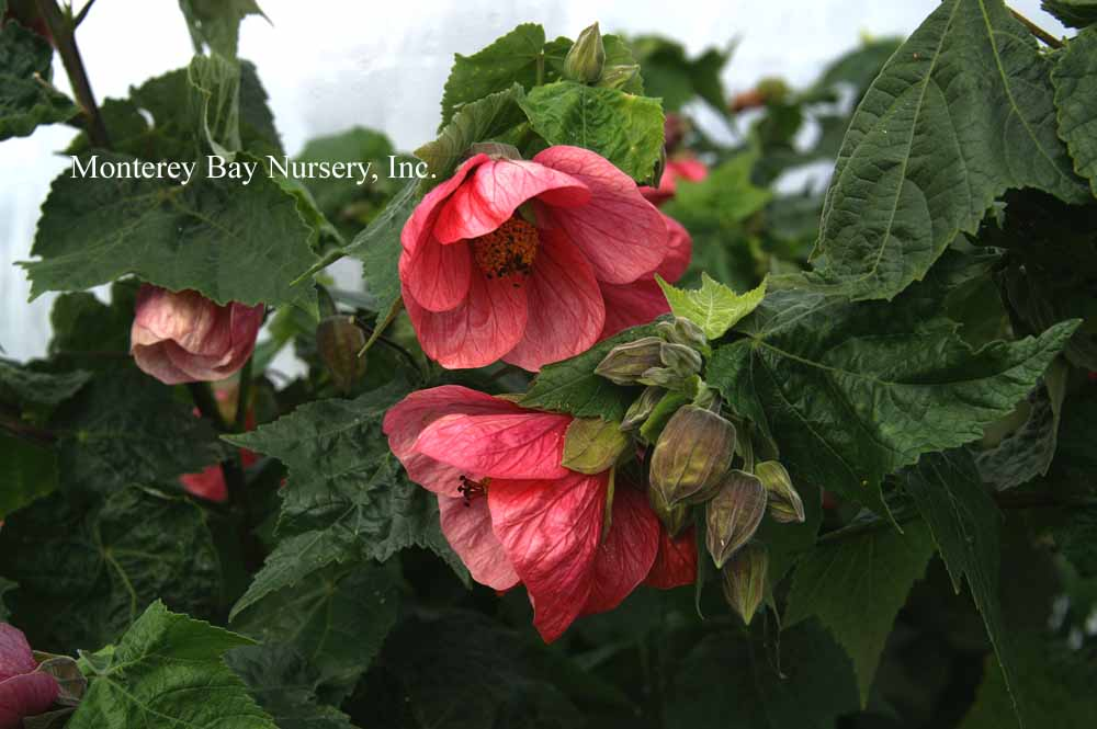 Monterey bay nursery plants a hot rose pink flowers a vigorous upright habit broad shallowly lobed smooth dark green leaves and burgundy stems to 6 10 unrestrained with mightylinksfo