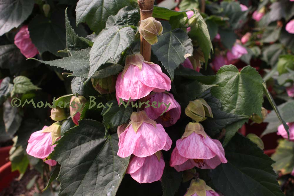 Monterey bay nursery plants a well branched plant to 6 10 unrestrained with moderate vigor very dark stems and large dark green leaves medium to large clear pink flowers have a mightylinksfo