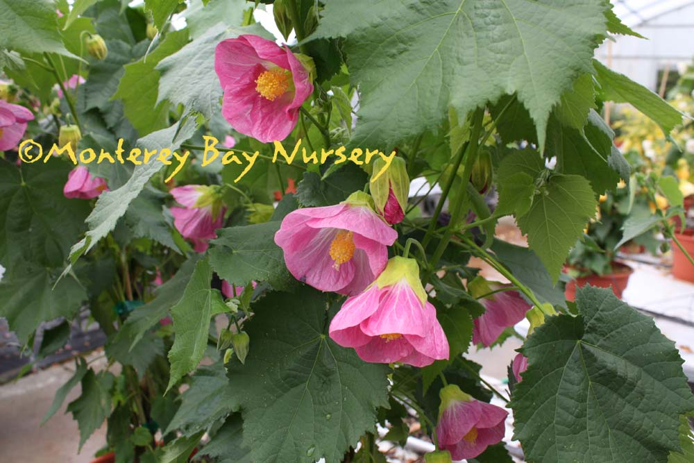 Monterey bay nursery plants a upright grower with strong clear pink flowers fading to white in the centers and with a big cluster of showy yellow stamens mightylinksfo