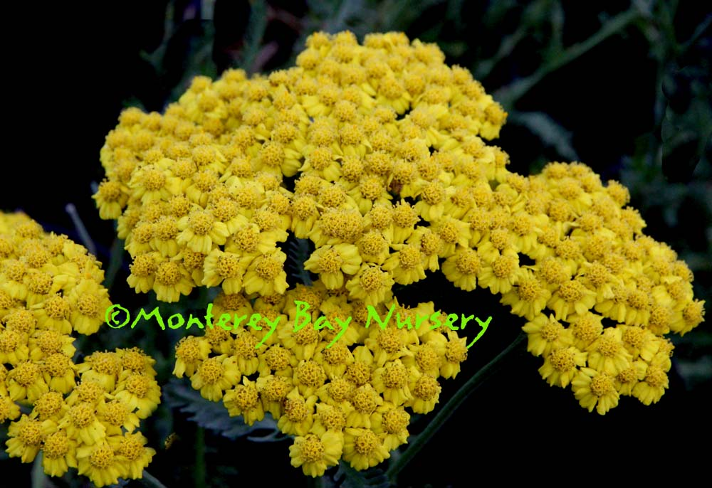Monterey bay nursery plants a golden yellow flowers clusters are a little smaller plants are only going to reach 12 tall even under full long day summer stretch conditions mightylinksfo