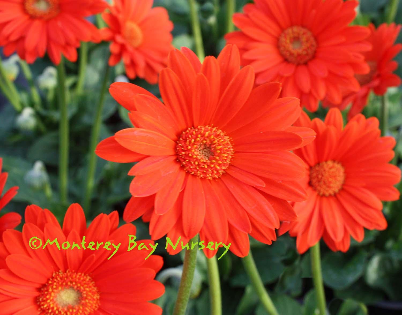 Monterey Bay Nursery plants - G