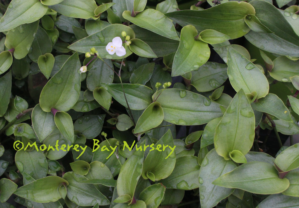 Monterey bay nursery plants g hanging down to 2 3 from containers and blooming its tiny white flowers on wiry stems dark green leaves have purple undersides mightylinksfo