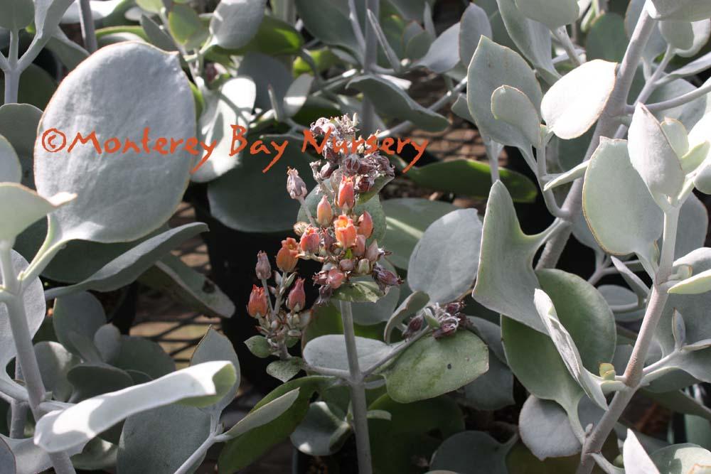 Monterey Bay Nursery plants - K on perennial silver foliage plants, silver grey and yellow wedding bouquet, silver weeping pear tree, white hosta plants, grey leaf plants, grey garden plants, white leaf plants,