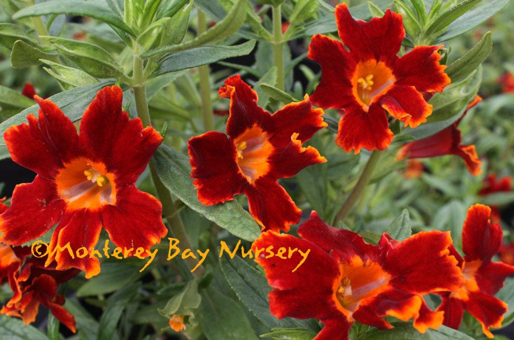 Monterey Bay Nursery plants - M