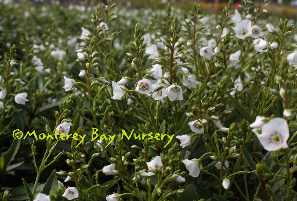 Plant with red and green leaves and white flowers flowers healthy sweet and small perennial shrub with narrow dark green leaves that bears profuse little white flowers with a red ring around a green eye mightylinksfo