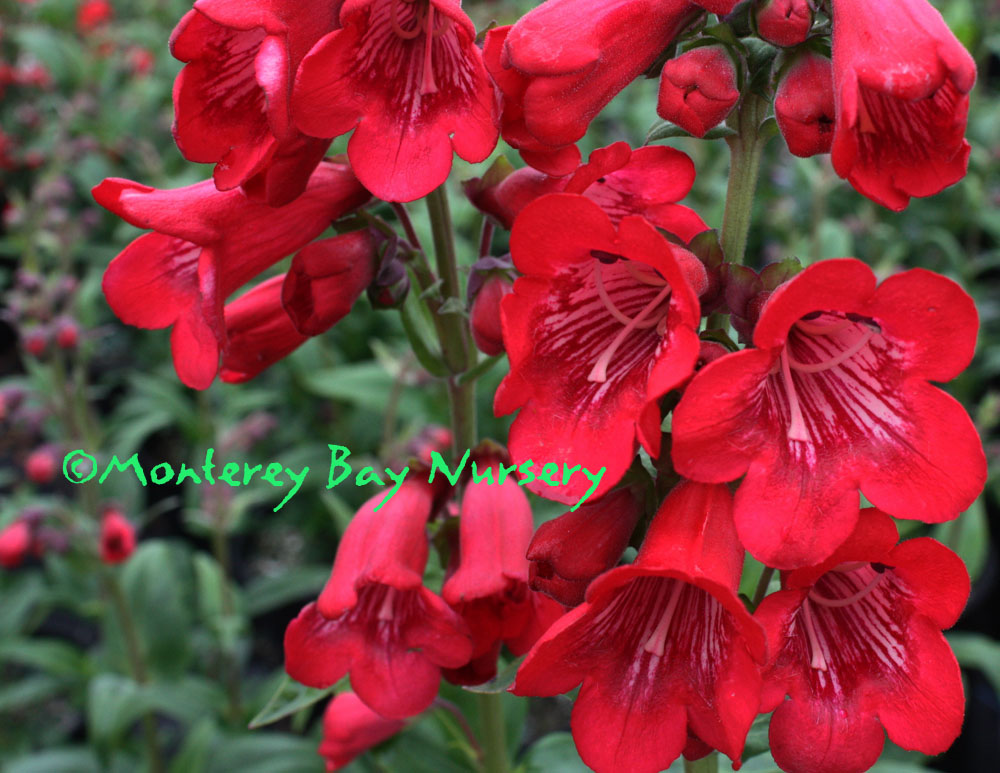 Monterey bay nursery plants p tubular bells red grand flowers mightylinksfo