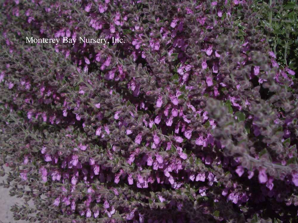 Monterey bay nursery plants t evergreen perennial with small dark green leaves and a long show of small rose pink flowers strung along the upper sections of the new stems mightylinksfo